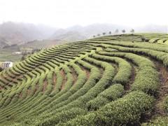 武夷山:在喊山声中迎来采茶季