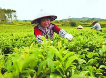 漳州八仙茶:昔日明星茶挖掘内涵重塑市场