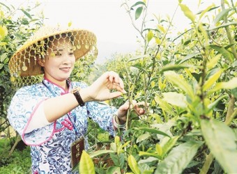 """中国茶应该做""""小而美""""还是做""""大而强"""" ?"""